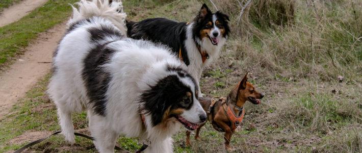 Faut-il stériliser nos chiens ?
