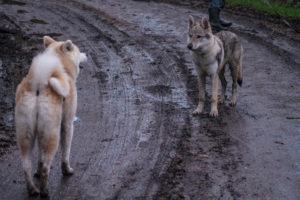 communication chien primitifs