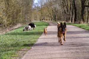 chiens qui courrent