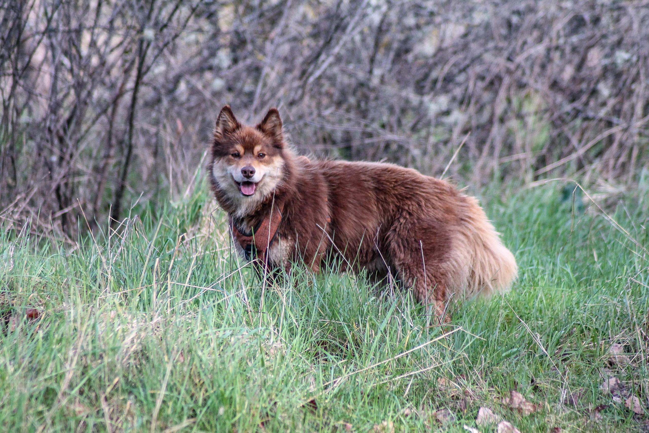 éducation canine finnois de laponie lapinkoira