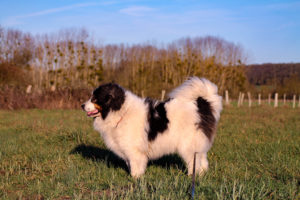 Minus tornjak chien hypothyroïde