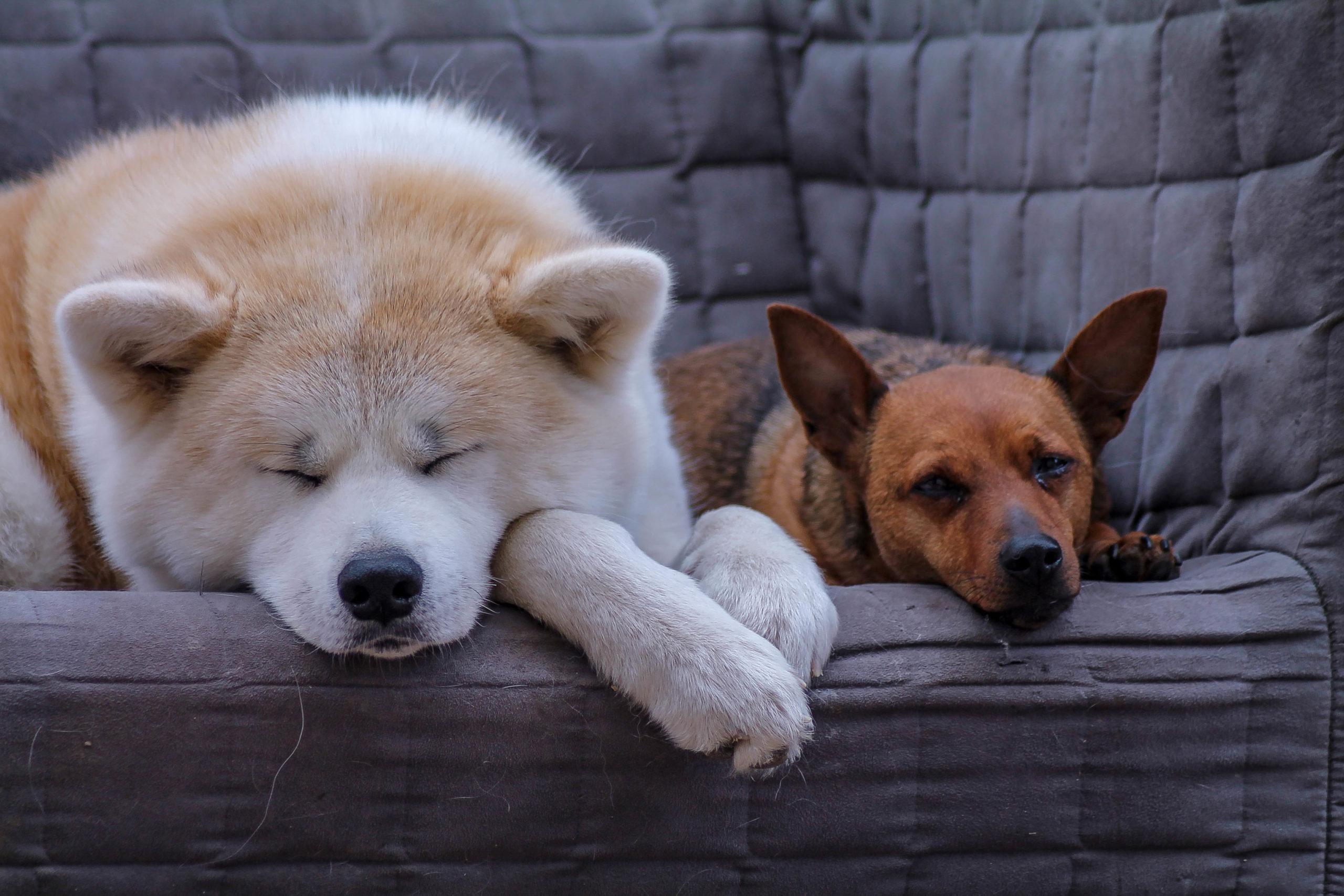 Le chien dominant : un mythe qui détruit des vies