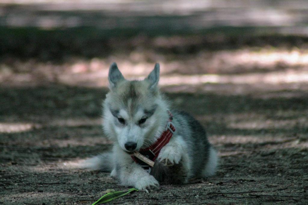education-chiot-husky