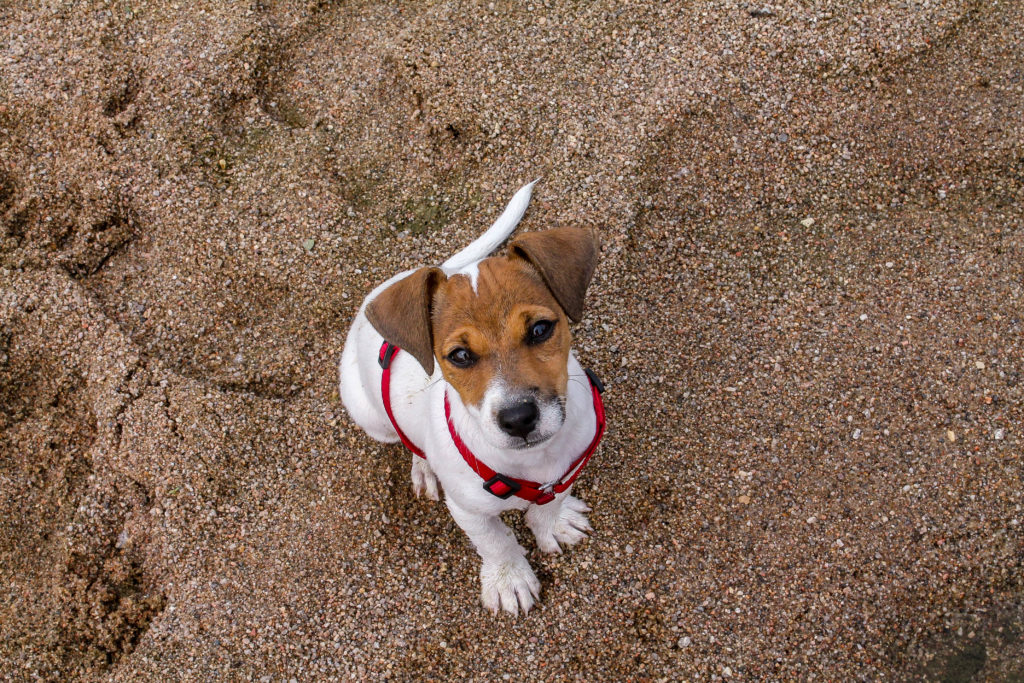 education-chiot-jack-russel